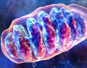 mitochondria1