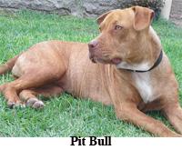 pit-bull
