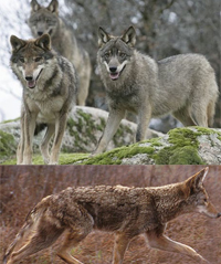 coyote_wolf_s