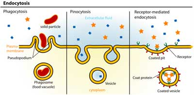 Difference between phagocytosis and pinocytosis