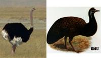 emu-osterich
