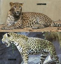 jaguar-leopard