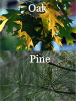 Difference Between Oak And Pine Difference Between Oak