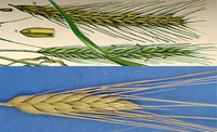 wheat-rye1