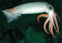 squid-white
