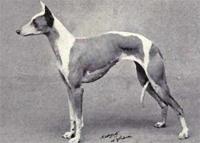 dog-whippet-pd