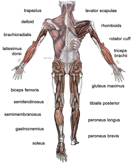 human-muscles-pd