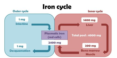 Difference Between Iron and Ferrous Sulfate