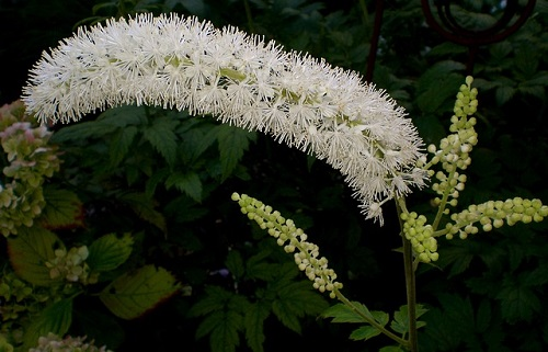 Difference Between Blue Cohosh and Black Cohosh-1