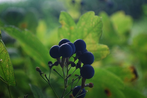 Difference Between Blue Cohosh and Black Cohosh