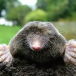 Difference Between Gopher and Mole-1