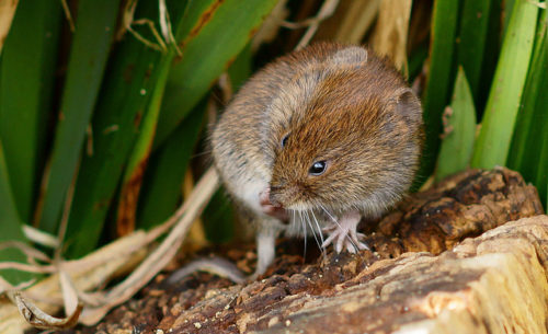 Difference Between Mole and Vole-1