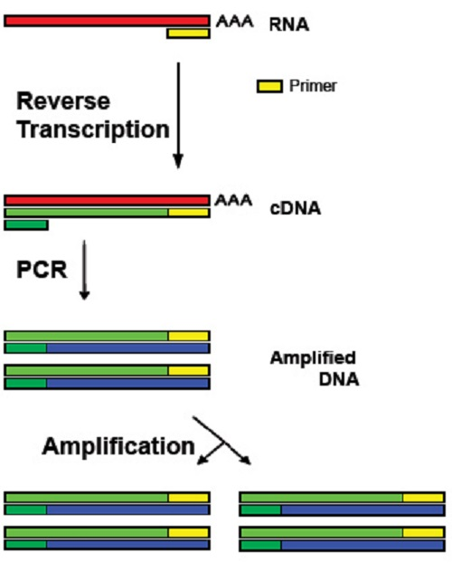 Difference Between RT-PCR and QPCR