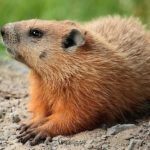 Difference Between Groundhog and Woodchuck