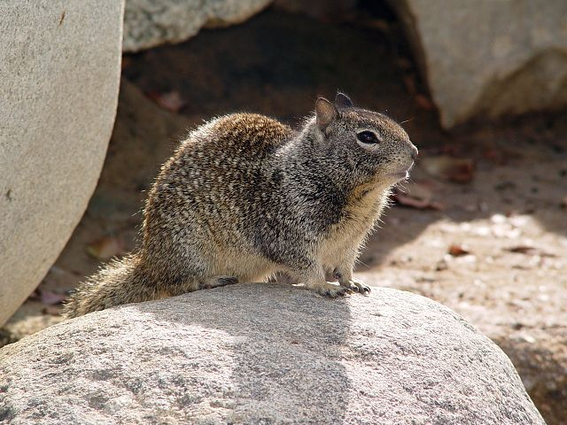 640px-CA_Ground_Squirrel_on_rock