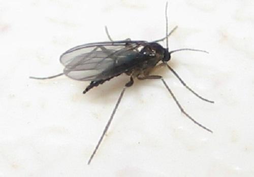 female_black_fungus_gnat