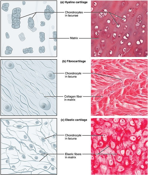 Difference Between Hyaline Cartilage And Elastic Cartilage