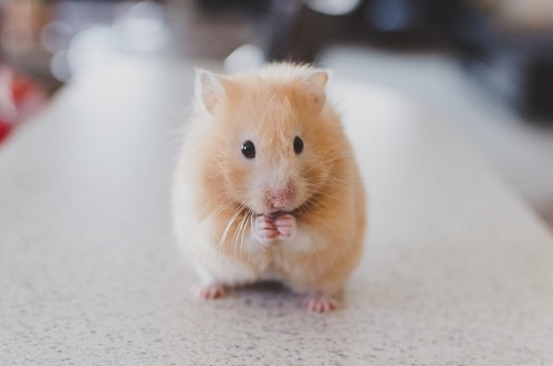 Difference Between Guinea Pig and Hamster-1