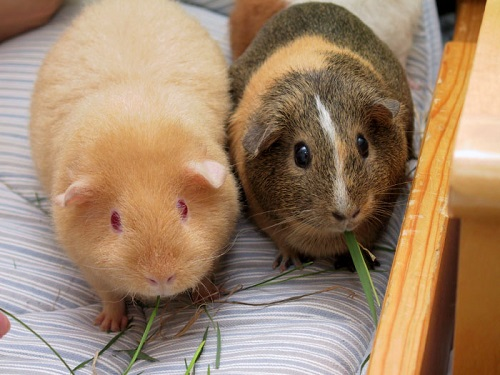 Difference Between Guinea Pig and Hamster