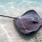 Difference between Manta ray and Stingray-1