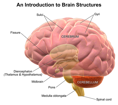Difference Between Cerebellum and Cerebrum