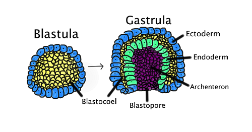 Difference between Blastula and Gastrula