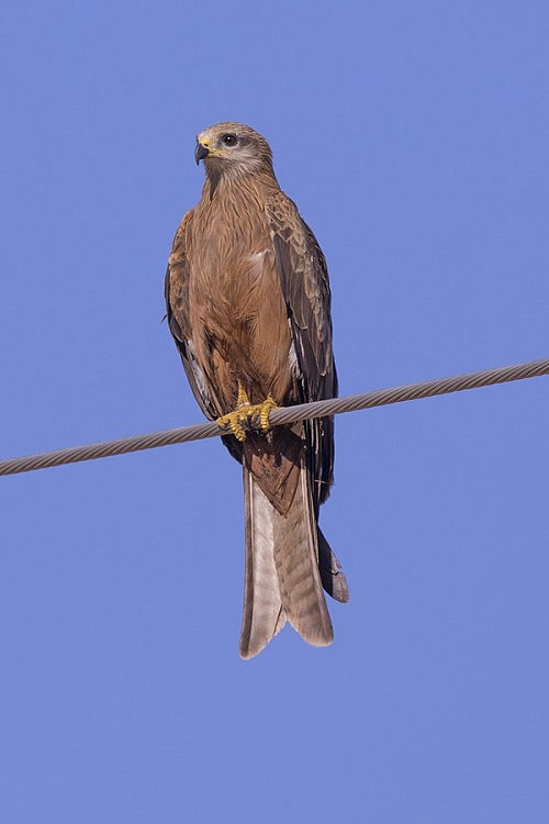 Difference Between Eagle and Kite-1