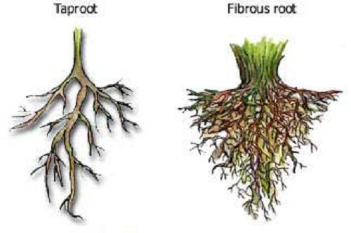 Difference between Taproot and Fibrous root