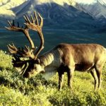 Differences Between Caribou and Reindeer