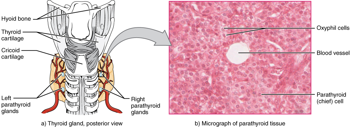 Difference Between Thyroid And Parathyroid Difference Between